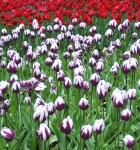 4_tulip.jpg