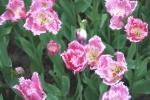 1_tulip.jpg